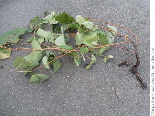 Как правильно обрезать и посадить саженец винограда?