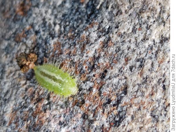 Личинка какого насекомого на цветке?