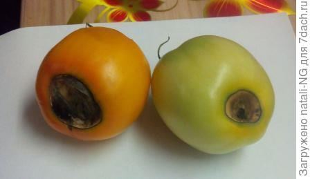 Вершинная гниль томатов.