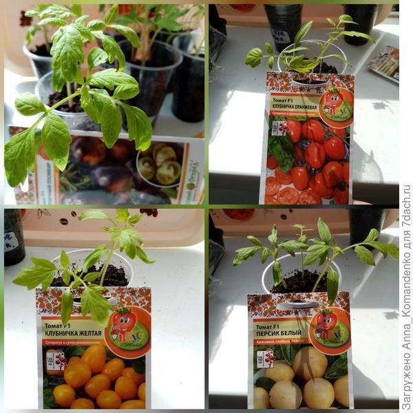 Фруктовые томаты от Русского огорода: 'Персик белый', 'Черничный пломбир', 'Клубнички' желтая и оранжевая. Пересадка