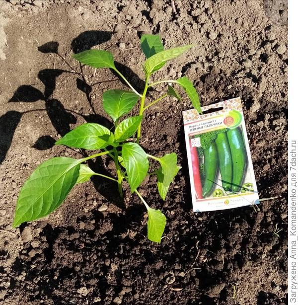 Перец сладкий 'Зеленые пальчики': высадка на постоянное место выращивания