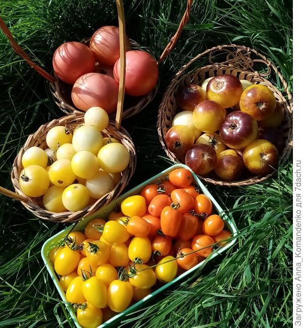 томаты от РО