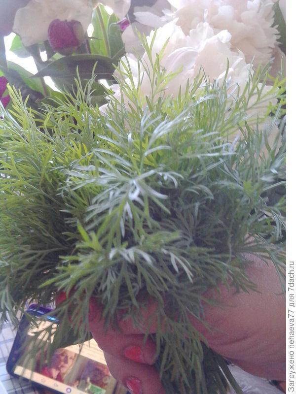 Тестирование семян Премиум Сидс. Укроп 'Владыка: итоги  проделанного тестирования