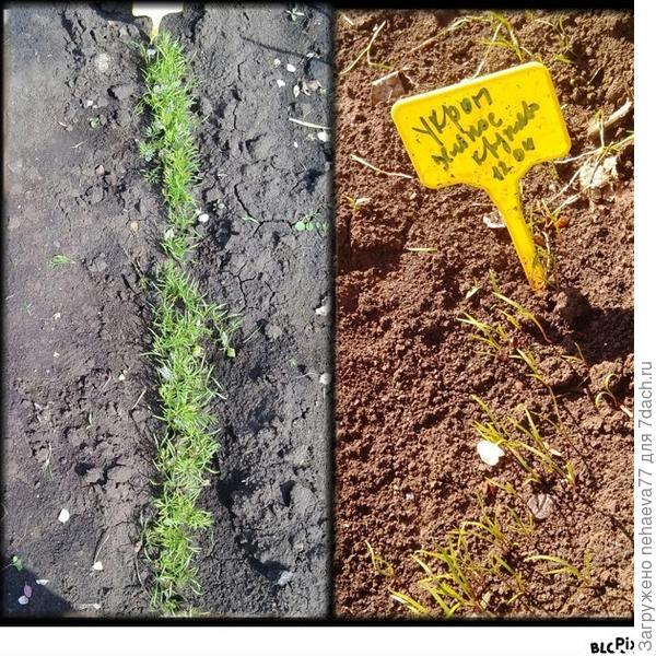 Укроп 'Зелёное кружево'. Тест на всхожесть