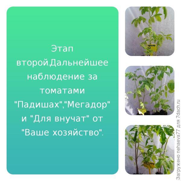 """Тестирование томатов от компании """"Ваше хозяйство"""". Этап второй: переезд на постоянное место жительства"""