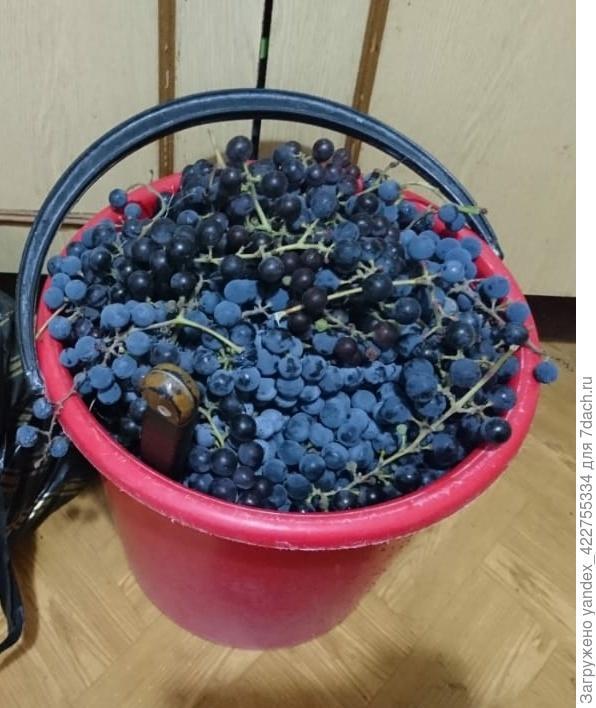 Как обрезать сильно разросшийся виноград Изабелла?