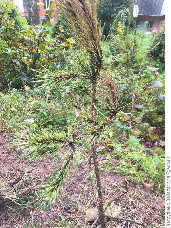 У посаженной осенью сосны пожелтела и высохла хвоя. Как ей помочь?