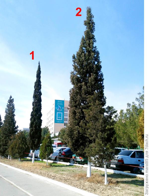 Кипарис №1 и №2