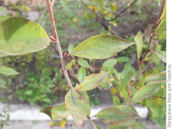листья и почки