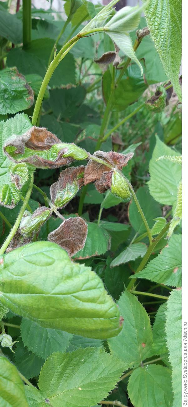 Листья ежевики сохнут от края к середине. Что это и как помочь растению?