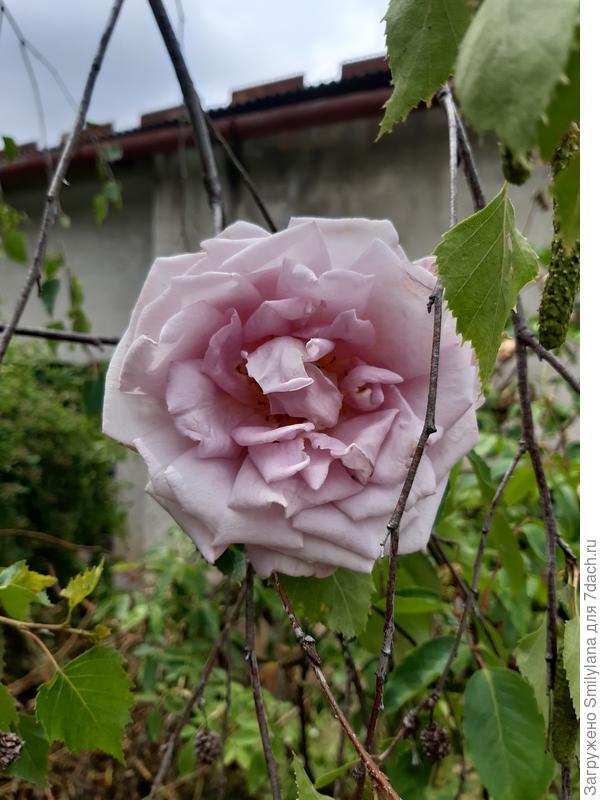 Пыльно-розовая красавица, растёт высоким кустом