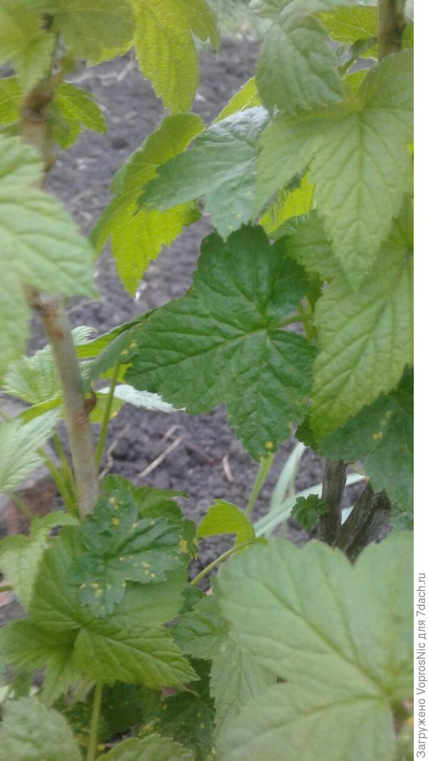 На листьях черной смородины странные светлые пятна: что это может быть?