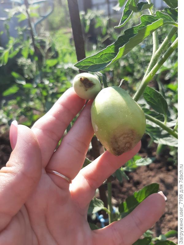 Почему скручиваются листья томатов, плоды чернеют, появилась мошка?