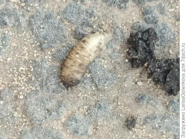 Личинка в земле под томатами.