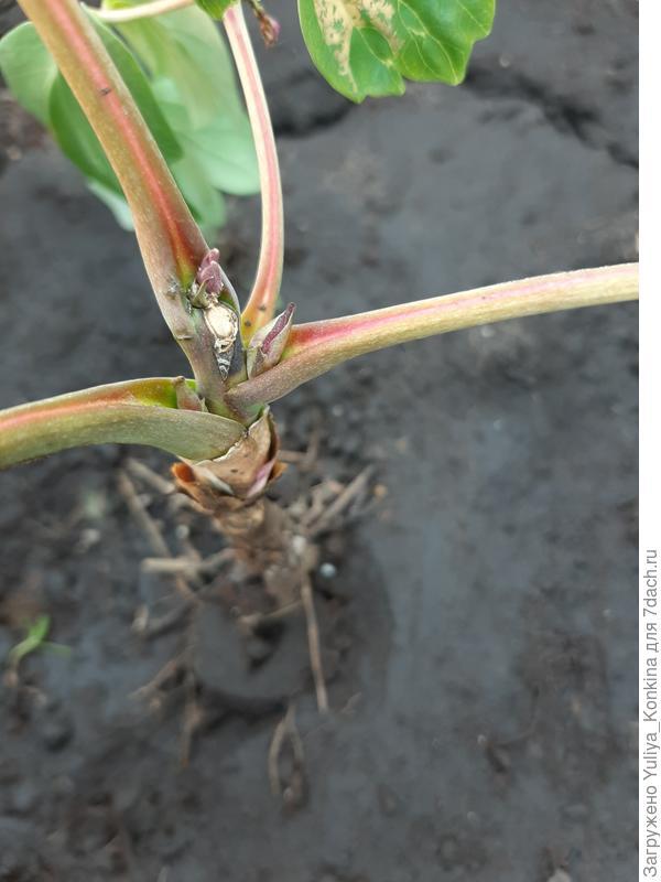 Почему древовидный пион замер на месте и не растет?
