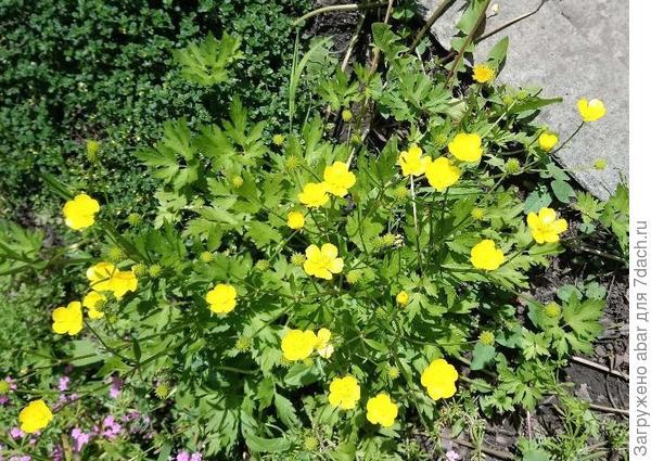 Растение3 Если лапчатка, то какая?