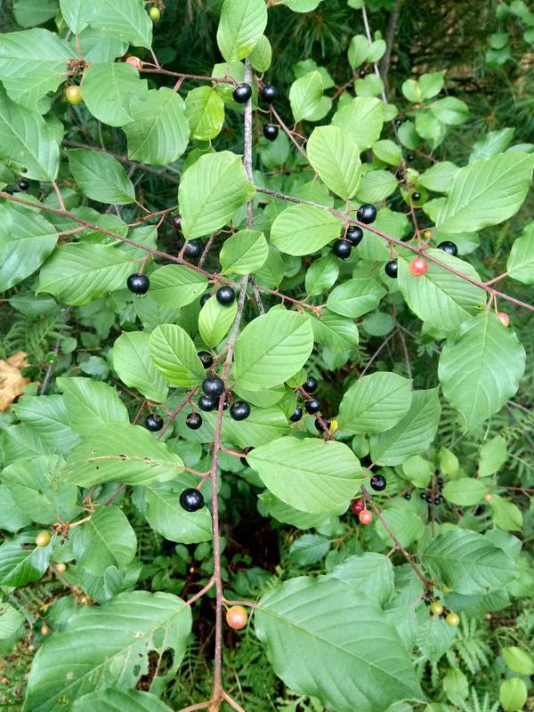 Растение 2. Кустарник, ягоды.