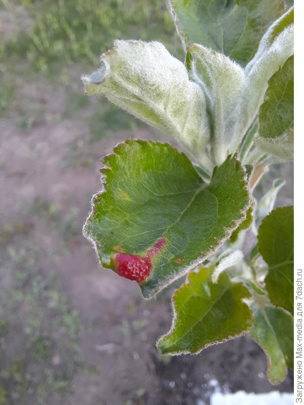 Почему покраснели листья яблони? Как лечить?