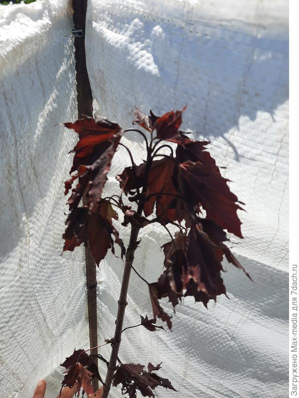 У посаженного бордового клена повисли листья. Что делать?
