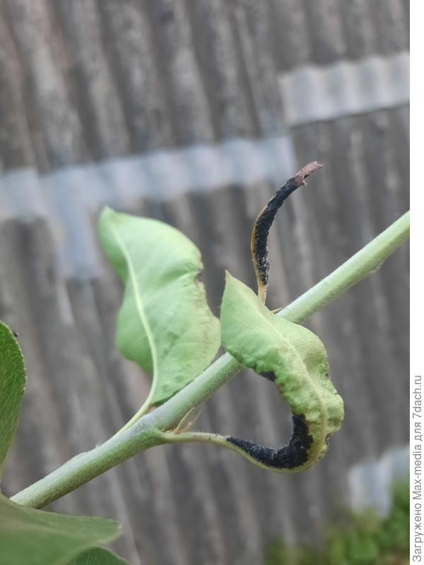 Скрученные и почерневшие листья - болезнь или тля?