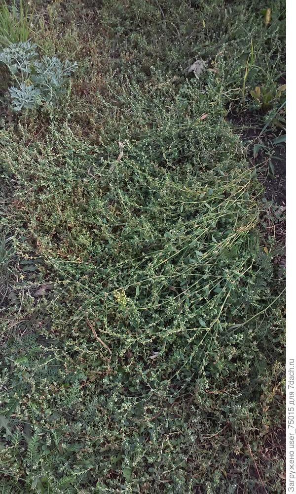 Какой это сорняк на фото?