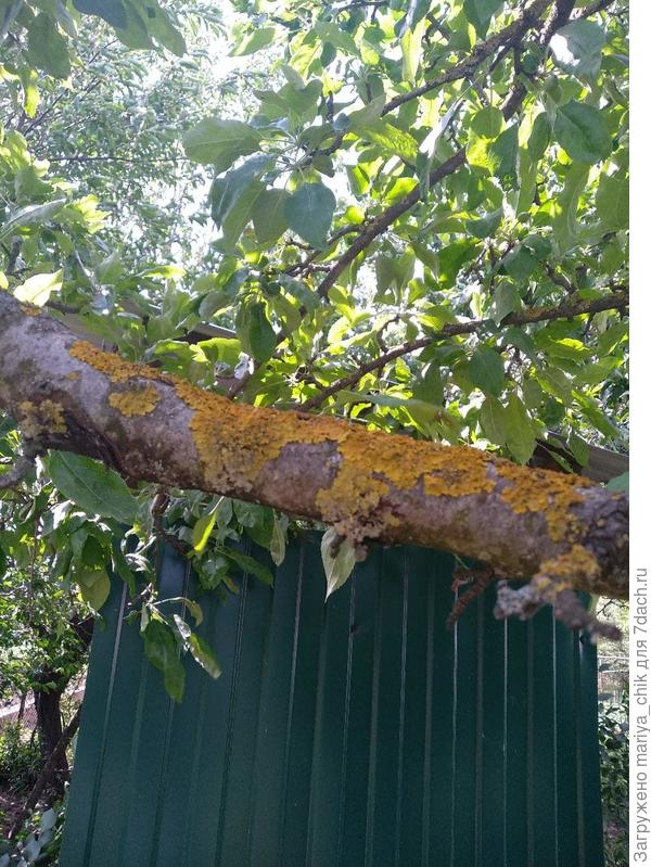 парша на дереве