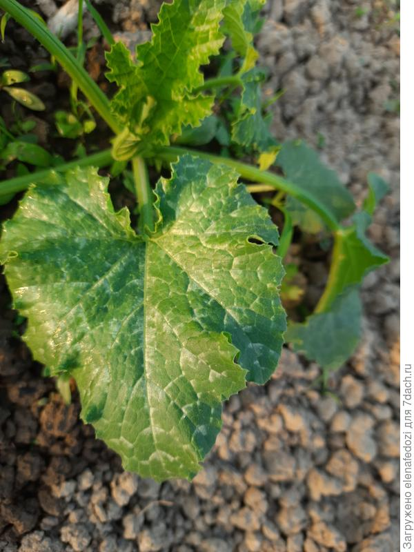 Желтеют листья кабачков. Что с ними случилось?
