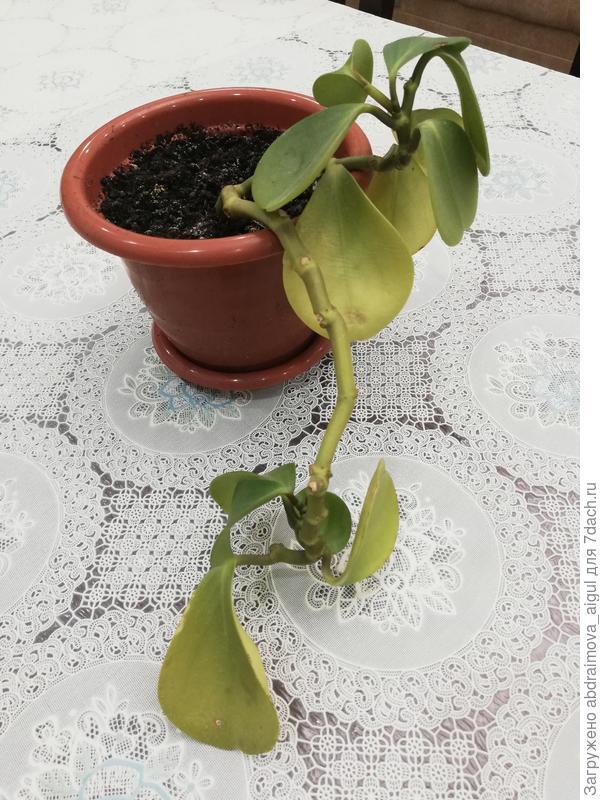 Комнатное растение опадают и желтеют листья. Отчего?
