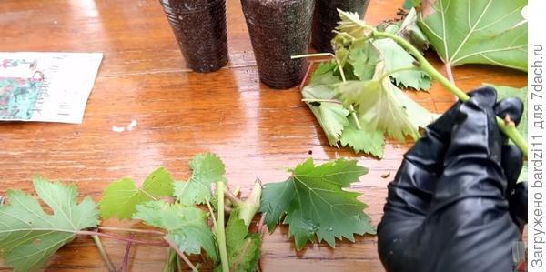 Самый простой способ размножения винограда. Проверено, работает на 100%