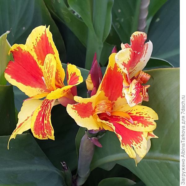 Вот такие яркие цветки у канны, фото автора