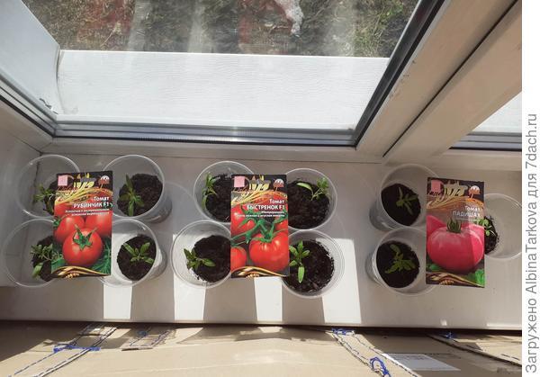 Форс-мажор. Трагический финал моей томатной рассады