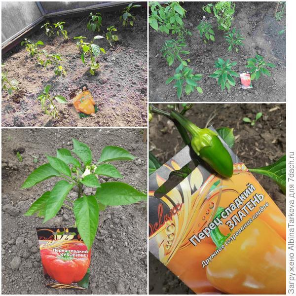 Перцы пересажены в теплицу и активно растут, 6 июня