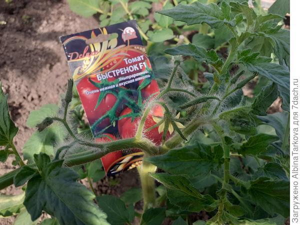 Подвожу итоги июня: томаты 'Падишах', 'Рубинчик' и 'Быстренок' показали себя с хорошей стороны