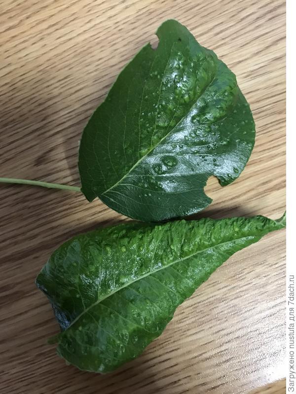 Больные листья.