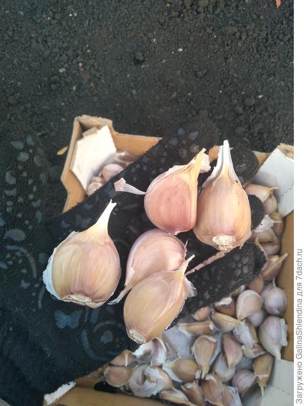 """""""Чудо-рецепт"""" осенней посадки чеснока, или Как вырастить крупный чеснок"""