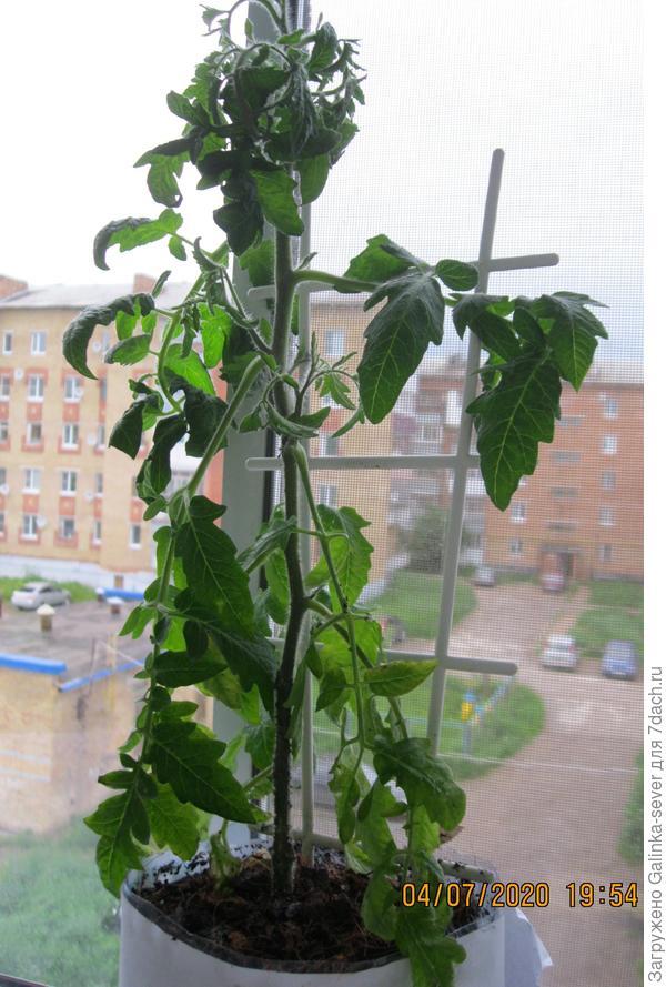 Ветки помидоров резко ушли вниз...это нормально?