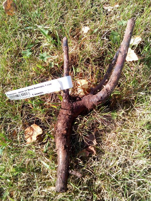 Вымокли корни чайной розы. Будет ли она жить после пересадки?