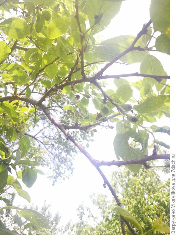 Плоды в черных точках и усыхают