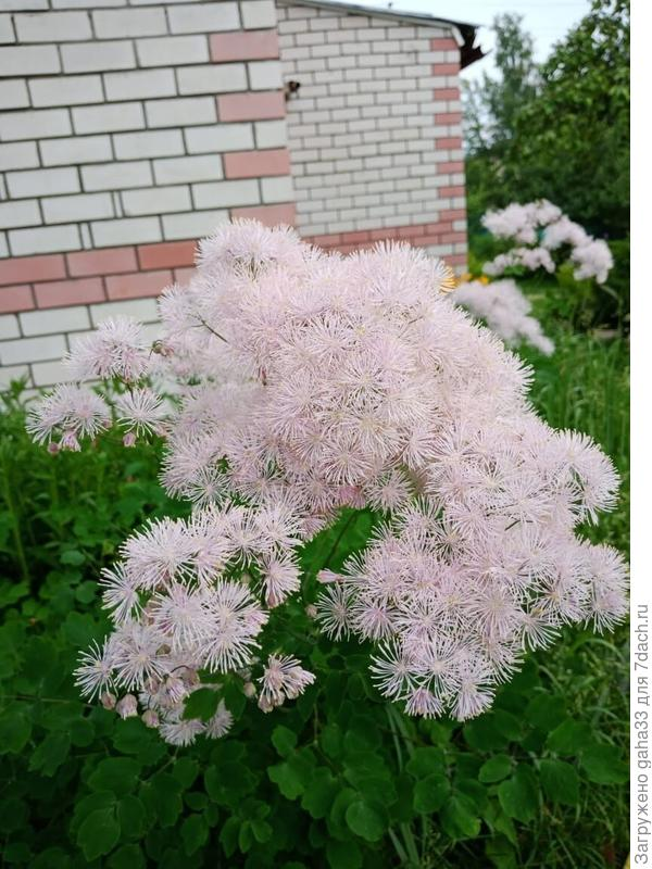 Дорогие единомышленники! Что это за чУдный цветок? Соседка почему- то стрижет его осенью. Я впервые вижу.