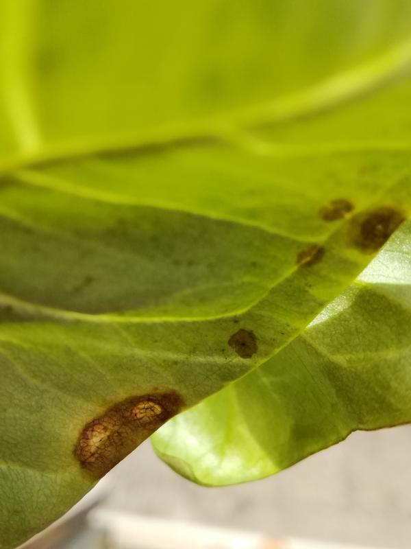 Появились пятна на листьях сингониума. Что с растением?