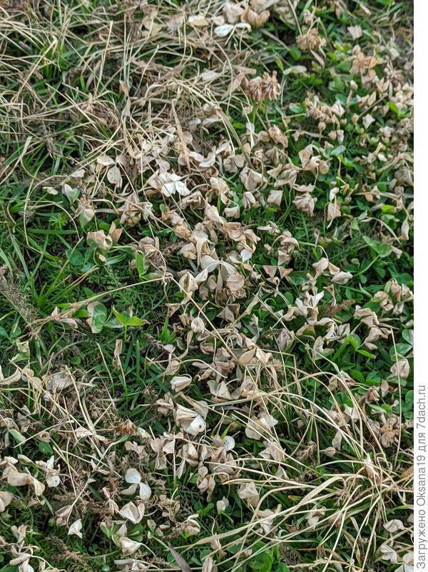 Трава на участке выгорает пятнами. От чего такое может быть?