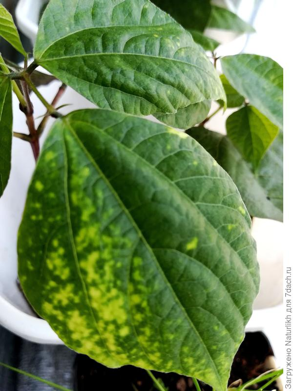 Почему появились пятна на листьях рассады долихоса и петунии?
