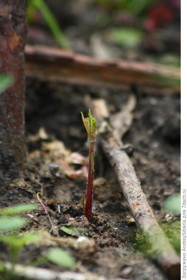 Посев ореха маньчжурского и миндаля низкого под зиму