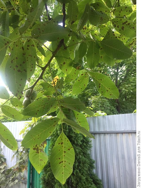 Пошли темные пятна на листьях ореха. Как вылечить?