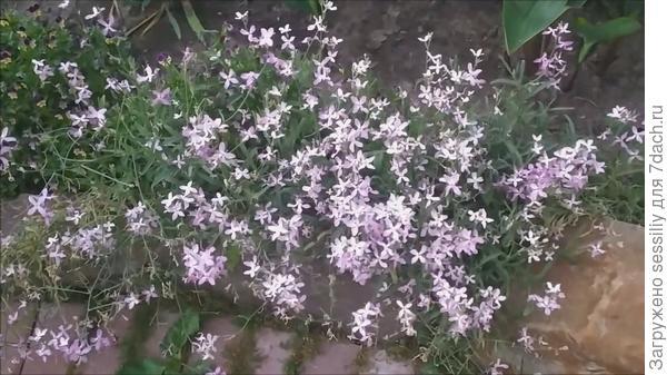 Матиолы в нашем саду.