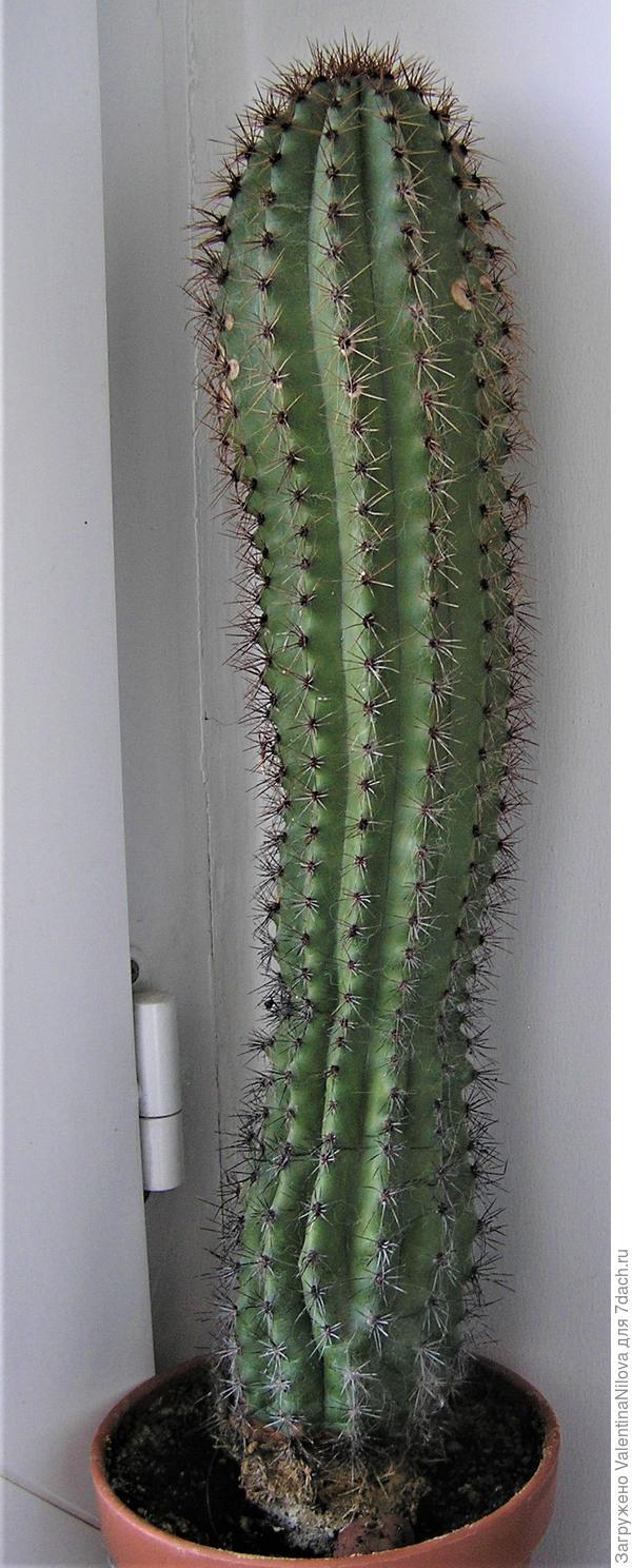 Как зовут этого красавца и цветет ли он? Высота кактуса 50 см, ему около 20 лет.