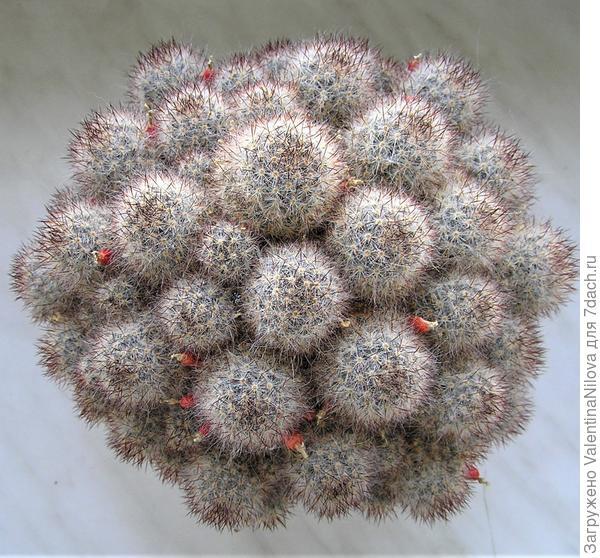 """Подскажите, что за кактус изображен на фото? Можно ли сажать """"плоды"""", образовавшиеся после цветения?"""