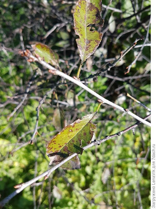 На листьях вишни, акации, смородины, яблони и даже сирени появились пятна. Какая это болезнь?
