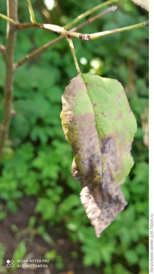 Почему сохнут и облетают листья у яблонь? Как помочь деревьям?