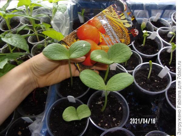 полностью развернулись семядольные листики